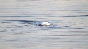 Nuoto del gabbiano nel lago archivi video