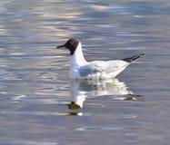 Nuoto del gabbiano sul lago immagini stock libere da diritti