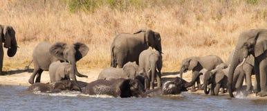 Nuoto del gregge dell'elefante fotografia stock libera da diritti