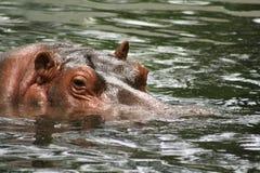 Nuoto del Hippopotamus Immagine Stock