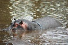 Nuoto del Hippopotamus nel fiume Fotografia Stock Libera da Diritti