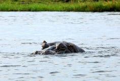 Nuoto del Hippopotamus in un fiume Fotografia Stock Libera da Diritti