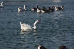 Nuoto del lato del rigth del bacino Immagini Stock
