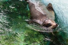 Nuoto del leone marino in acqua blu Immagini Stock
