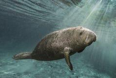 Nuoto del Manatee attraverso i raggi di sole immagine stock