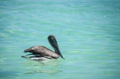 Nuoto del pellicano nel mare caraibico del Messico Immagini Stock