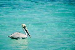 Nuoto del pellicano nel mare caraibico del Messico Fotografia Stock Libera da Diritti