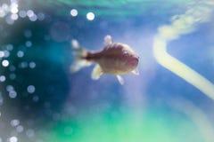 Nuoto del pesce in acquario Fotografia Stock