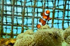 Nuoto del pesce del pagliaccio nel canto natalizio Fotografia Stock Libera da Diritti