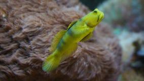 Nuoto del pesce della barriera corallina davanti ai coralli degli anemoni fotografie stock libere da diritti