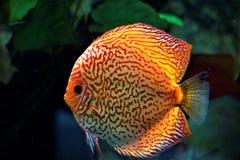 Nuoto del pesce di disco in un acquario fotografia stock