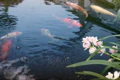 Nuoto del pesce di Koi nello stagno, orchidea bianca immagini stock