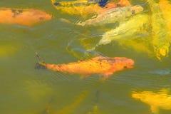 Nuoto del pesce giallo ed arancio nell'ambito di fondo acquatico acqua immagini stock