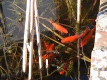 Nuoto del pesce rosso in uno stagno del giardino Immagini Stock