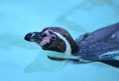 Nuoto del pinguino in acqua blu immagine stock