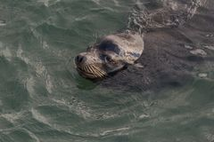 Nuoto del ritratto del leone marino nell'oceano Pacifico Fotografia Stock Libera da Diritti