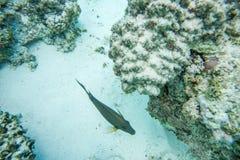 Nuoto del Surgeonfish in Coral Reef fotografia stock