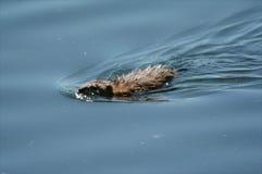 Nuoto del topo muschiato in un lago Immagine Stock