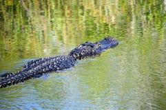 Nuoto dell'alligatore Immagini Stock