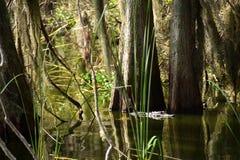 Nuoto dell'alligatore Fotografie Stock