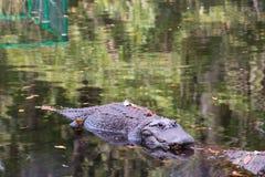 Nuoto dell'alligatore alla superficie del fiume Fotografia Stock Libera da Diritti