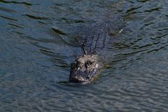 Nuoto dell'alligatore americano (alligator mississippiensis) nella palude Immagine Stock