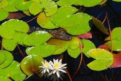 Nuoto dell'alligatore del bambino nella palude Fotografia Stock