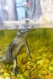Nuoto dell'alligatore del bambino in una fine dello stagno su Fotografia Stock Libera da Diritti