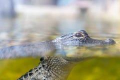Nuoto dell'alligatore del bambino in una fine dello stagno su Fotografie Stock Libere da Diritti