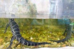 Nuoto dell'alligatore del bambino in una fine dello stagno su Immagine Stock
