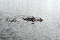 Nuoto dell'alligatore nel parco nazionale dei terreni paludosi Fotografia Stock