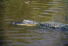 Nuoto dell'alligatore nel parco nazionale dei terreni paludosi, isole di diecimila, FL Fotografia Stock Libera da Diritti