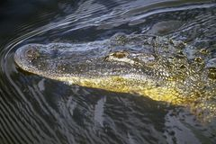 Nuoto dell'alligatore nel parco nazionale dei terreni paludosi, isole di diecimila, FL Fotografie Stock