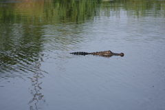Nuoto dell'alligatore nel ramo paludoso di fiume Immagine Stock