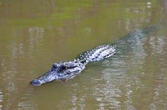 Nuoto dell'alligatore nel ramo paludoso di fiume della Luisiana Immagine Stock Libera da Diritti