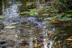 Nuoto dell'alligatore nella palude Fotografie Stock