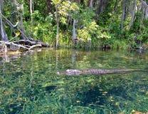 Nuoto dell'alligatore nelle primavere in Florida Fotografia Stock Libera da Diritti