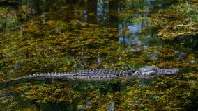 Nuoto dell'alligatore, prerogativa nazionale grande di Cypress, Florida Fotografie Stock Libere da Diritti