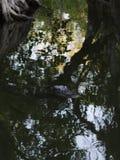 Nuoto dell'alligatore, prerogativa nazionale grande di Cypress, Florida Fotografia Stock Libera da Diritti
