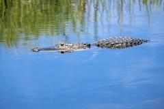 Nuoto dell'alligatore in un fiume #1 Fotografia Stock Libera da Diritti