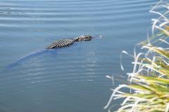 Nuoto dell'alligatore in un fiume #2 Immagine Stock Libera da Diritti