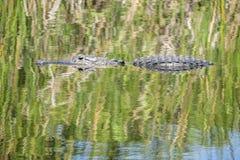 Nuoto dell'alligatore in un fiume #3 Immagini Stock Libere da Diritti