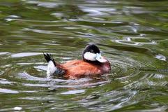 Nuoto dell'anatra Fotografia Stock