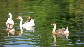 Nuoto dell'anatra e dell'oca Immagine Stock