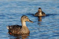 Nuoto dell'anatra nel lago Fotografia Stock