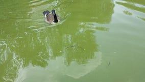 Nuoto dell'anatra nel lago calmo immagini stock libere da diritti