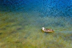 Nuoto dell'anatra nel lago Pearson, Nuova Zelanda fotografie stock