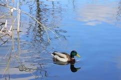 Nuoto dell'anatra selvatica nel lago Fotografia Stock