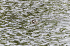 Nuoto dell'anatroccolo della bucephala nello stagno Fotografia Stock Libera da Diritti