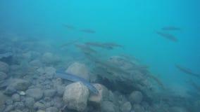 Nuoto dell'anguilla attraverso l'acqua blu con il pesce di Ather stock footage